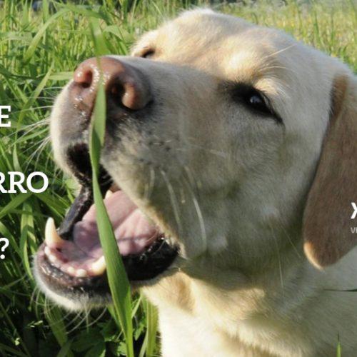 Por que os cachorros comem grama?